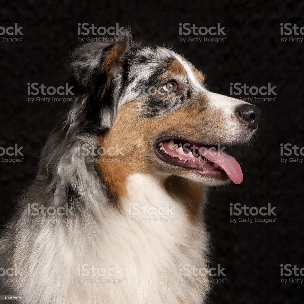 Australian Shepherd dog, 10 months old, black background. stock photo