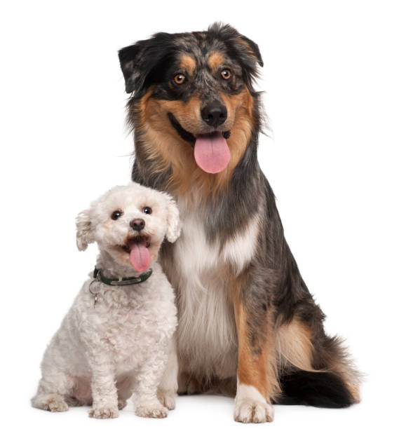 Australian Shepherd dog, 17 months old, and Bichon Fris©, 8 years old, sitting in front of white background stock photo