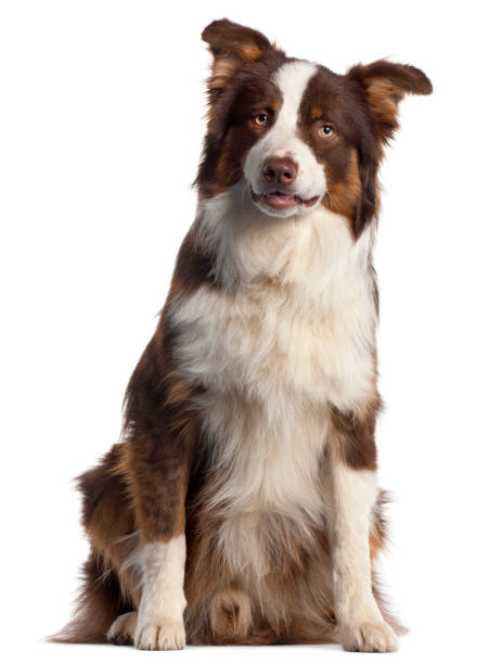 Australian Shepherd dog, 9 months old, sitting in front of white background Australian Shepherd dog, 9 months old, sitting in front of white background australian shepherd stock pictures, royalty-free photos & images