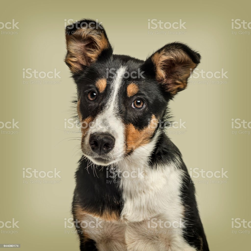 Australian Shepherd dog against green background stock photo