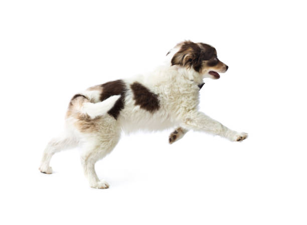 Australian shepherd dog breed puppy on white background picture id1074633992?b=1&k=6&m=1074633992&s=612x612&w=0&h=rmtppmd1x01dpasfc0voymsxv8xbbmeffbvjhknaj q=
