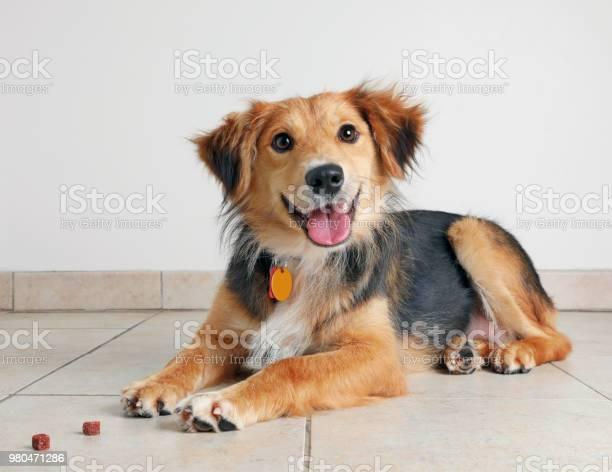Australian shepherd dog hoping to be adopted picture id980471286?b=1&k=6&m=980471286&s=612x612&h=2kwkifjlb8 hkdz51gxyttiqpjrpdeowfkof0yxixoq=