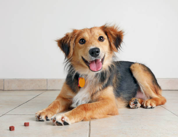 australian shepherd dog hoping to be adopted - happy dog imagens e fotografias de stock