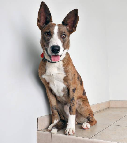 australian shepherd dog, in der hoffnung, angenommen werden - hunde aus dem tierheim stock-fotos und bilder