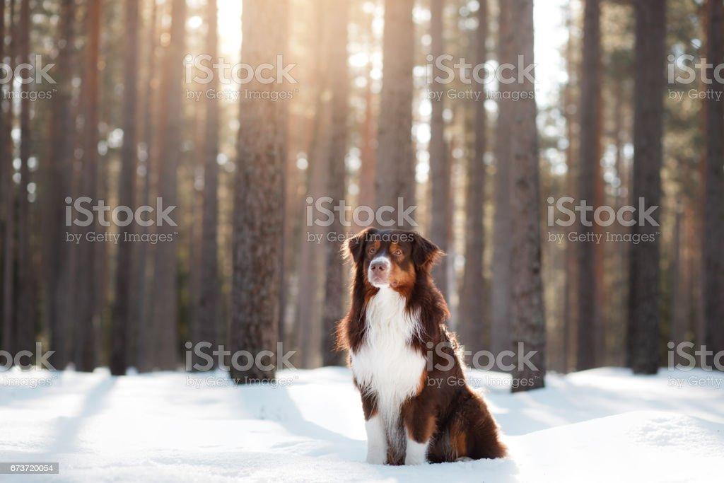 Chien de Berger australien en hiver dans la forêt photo libre de droits