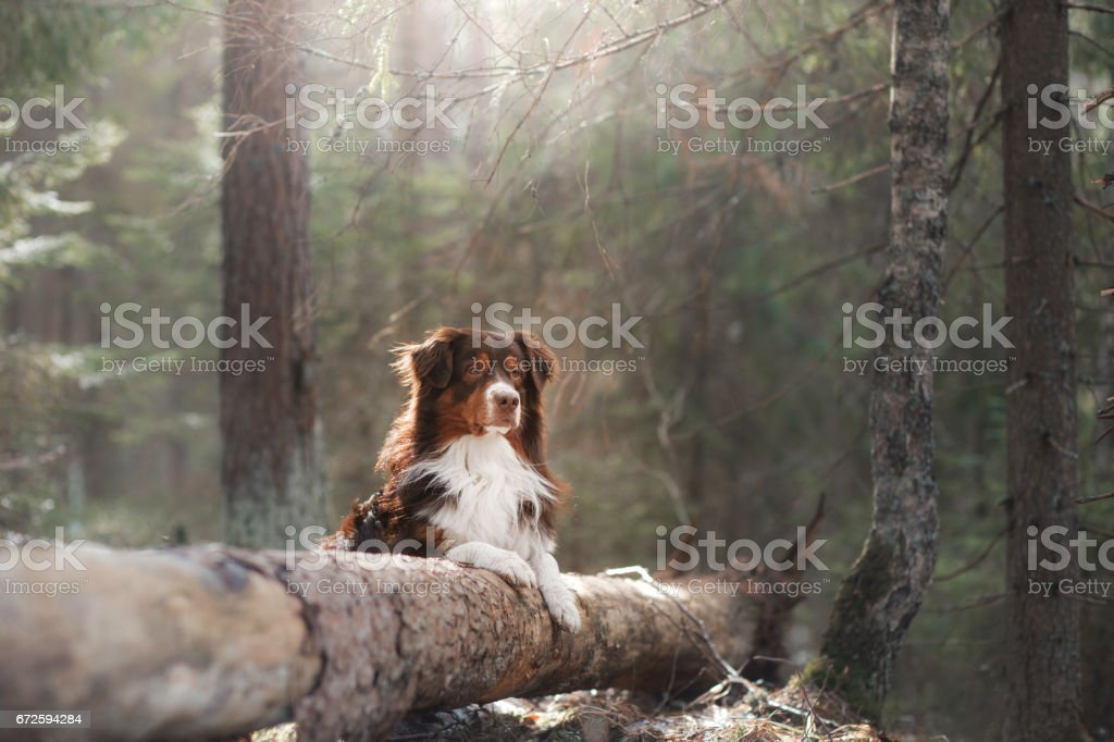 Australian Shepherd Dog in the Woods stock photo