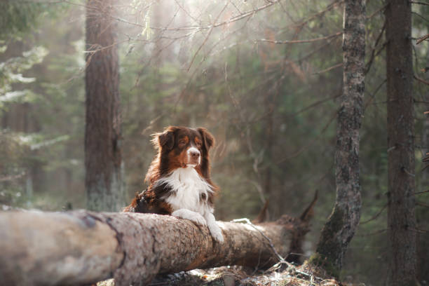 Australian Shepherd Dog in the Woods Australian Shepherd Dog lies on a tree australian shepherd stock pictures, royalty-free photos & images