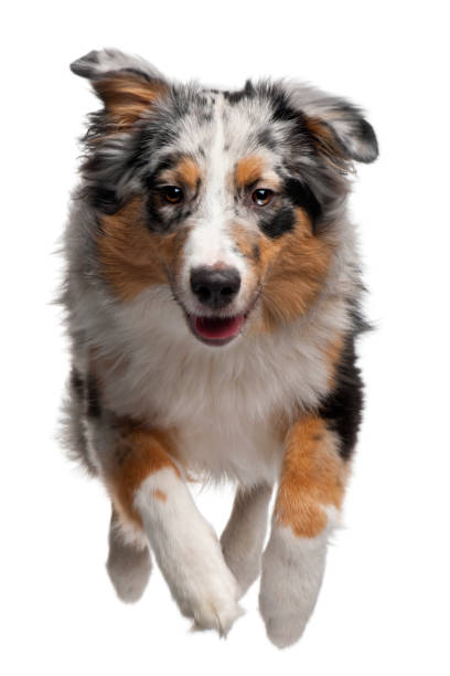Australian shepherd dog jumping 7 months old in front of white picture id1068834850?b=1&k=6&m=1068834850&s=612x612&w=0&h=hpawveu9touq9urwwbson0yqt0kfcwart abx5 kbbw=