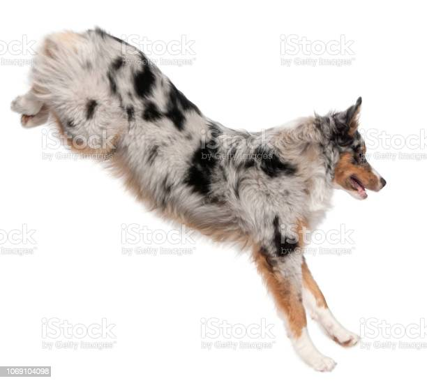 Australian shepherd dog jumping 7 months old in front of white picture id1069104098?b=1&k=6&m=1069104098&s=612x612&h=blwnjbi6ac yj rsa 5egaup d2agggow0nvkdtt314=