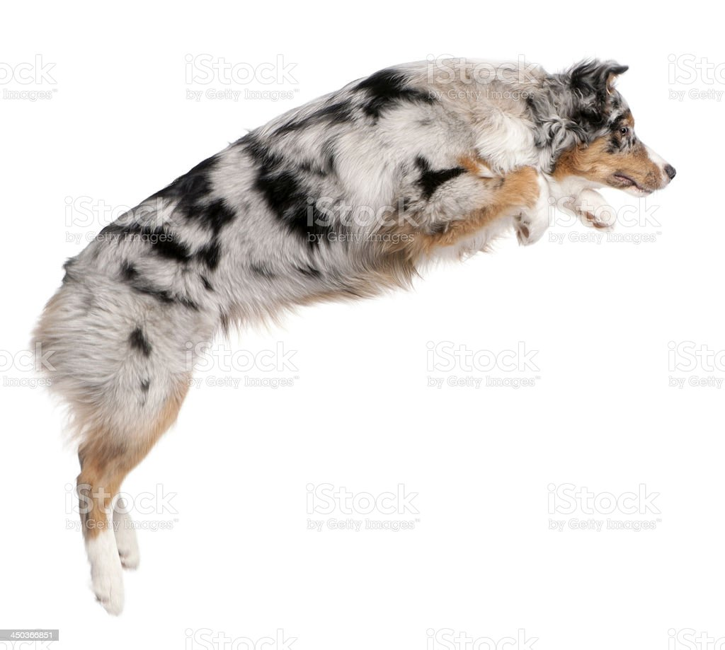 Australian Shepherd dog jumping, 7 months old, isolated on white stock photo