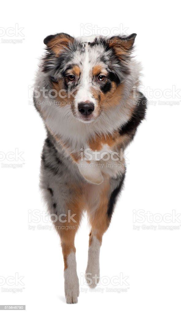Australian Shepherd dog jumping, 7 months old, stock photo
