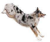 istock Australian Shepherd dog jumping, 7 months old, white background. 110939765