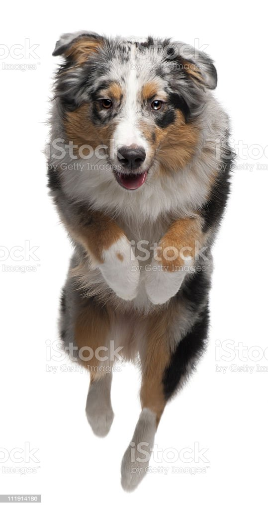 Australian Shepherd dog jumping, 7 months old, white background. stock photo