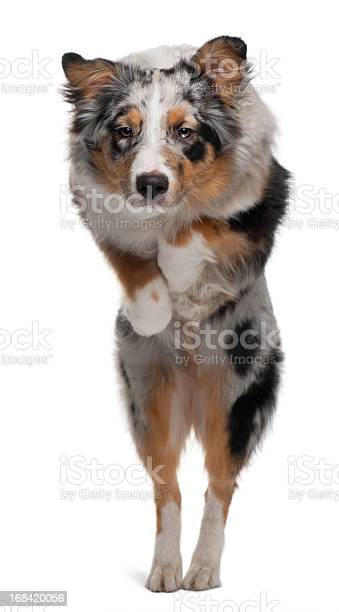 Australian shepherd dog jumping 7 months old white background picture id168420056?b=1&k=6&m=168420056&s=612x612&h=h0kgr80oiihujejqjznjslasx3ezv7uv o1dejzijpg=