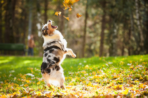 Australian shepherd dog jumping and playing with leaves