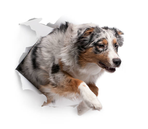 Australian shepherd dog jumping out of white background picture id471505709?b=1&k=6&m=471505709&s=612x612&w=0&h=crk57bnspprxr8 qsoyckfwhvafp 7sz15vxrcl0t4u=