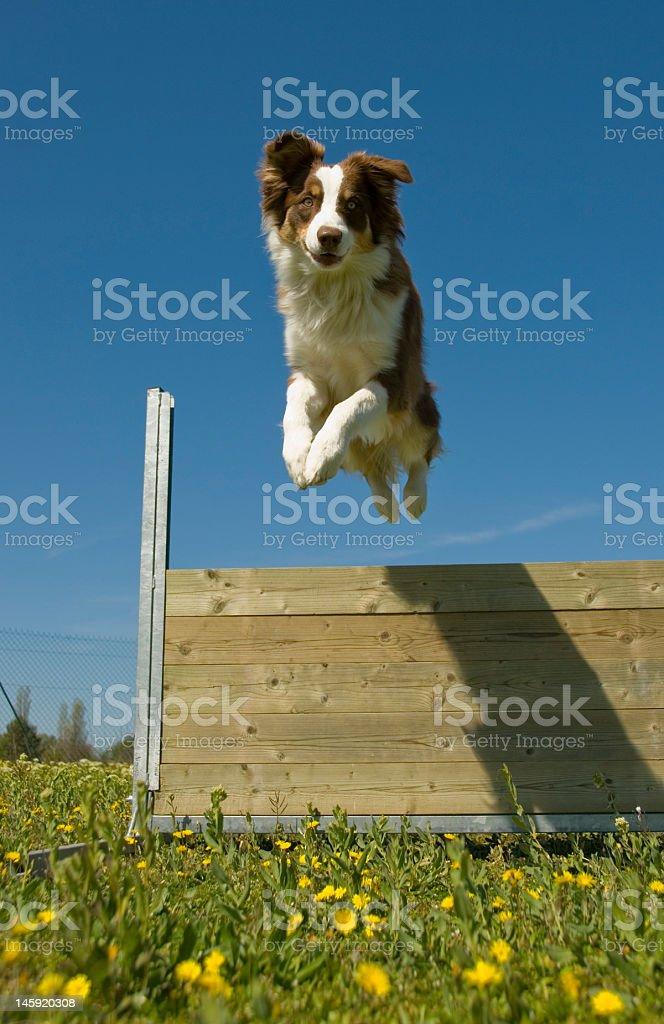 Australian shepherd dog jumping over wooden barrier outside royalty-free stock photo