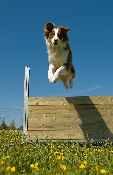 Australian shepherd dog jumping over wooden barrier outside picture id145920308?b=1&k=6&m=145920308&s=612x612&w=0&h=qxm9wgomfaxjmyjlq95yhazglttpekebikmntah4dom=