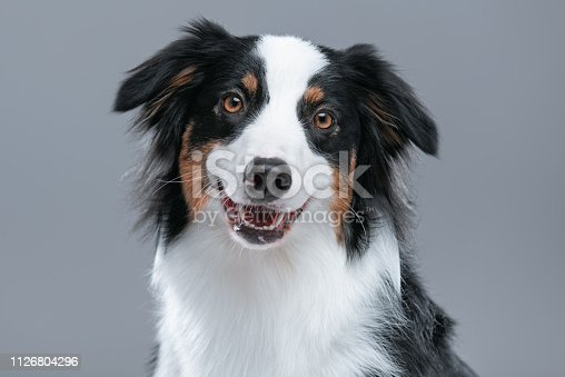 Close up portrait of cute young Australian Shepherd dog with open mouth on gray background. Beautiful adult Aussie, looking at camera.