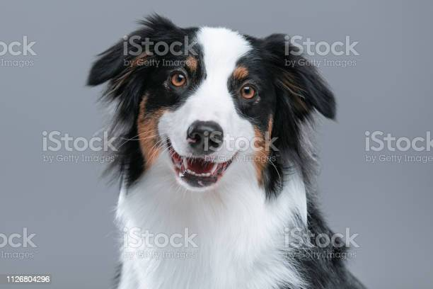 Australian shepherd dog on gray picture id1126804296?b=1&k=6&m=1126804296&s=612x612&h=u7qjq3mdmxcckjrqzkoeiyrhfryphrbncljtqc04g90=