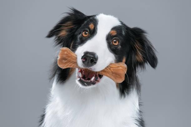 australische herder hond op grijs - hondenkluif stockfoto's en -beelden