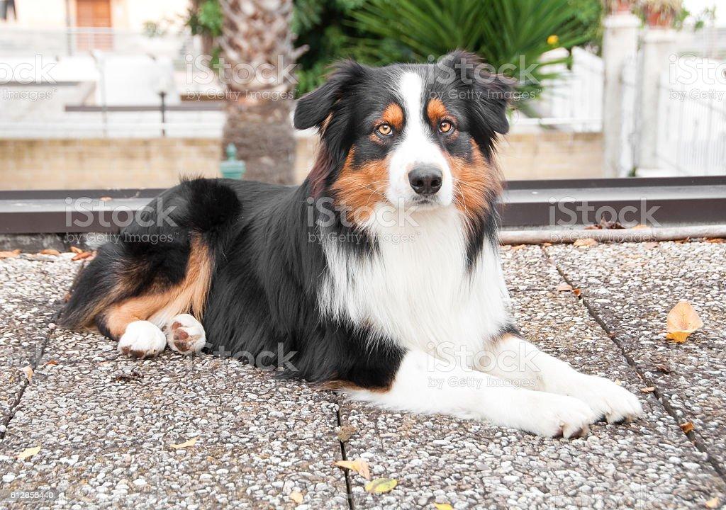 Australian shepherd dog – Foto