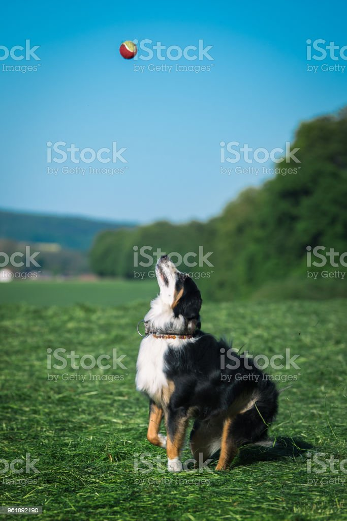 Australian shepherd dog royalty-free stock photo