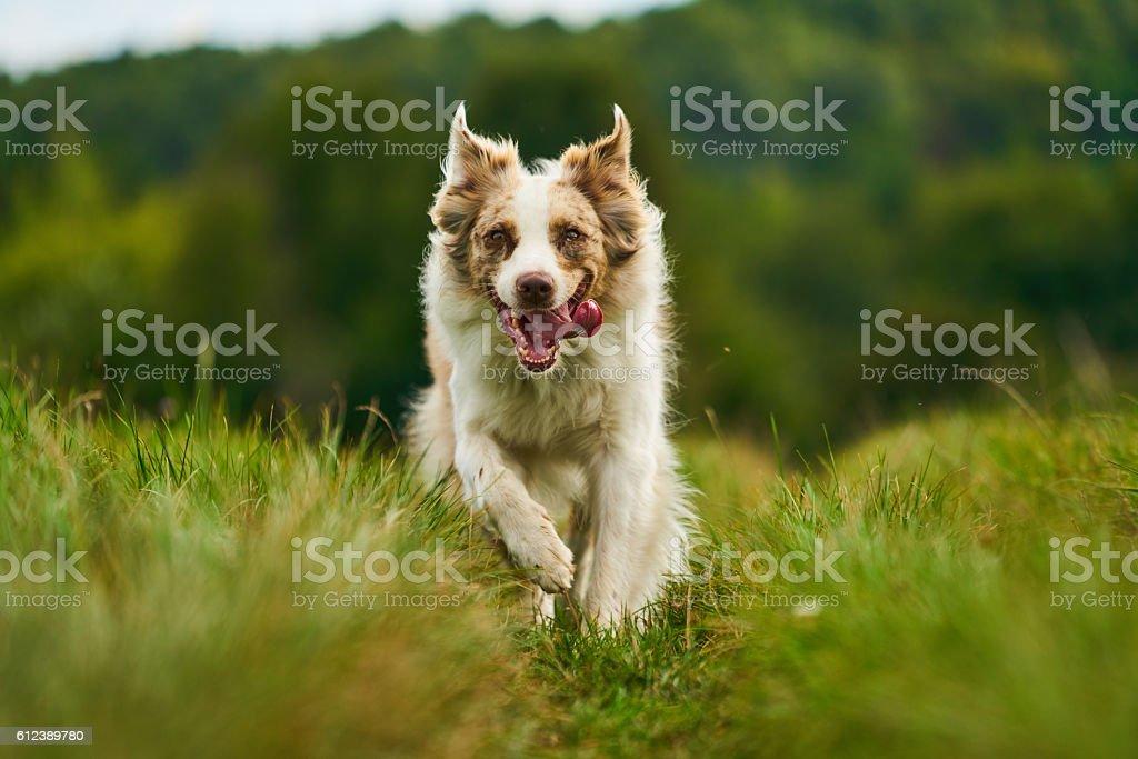 australian shepherd dog running fast – Foto