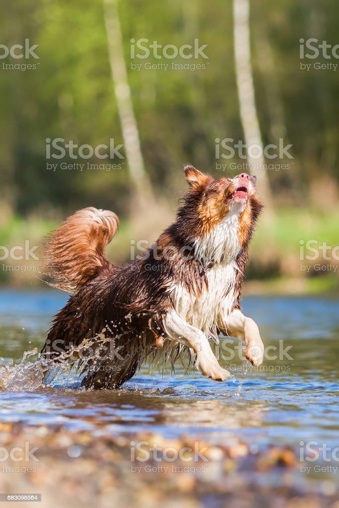 Australian Shepherd dog runs in a river foto de stock royalty-free