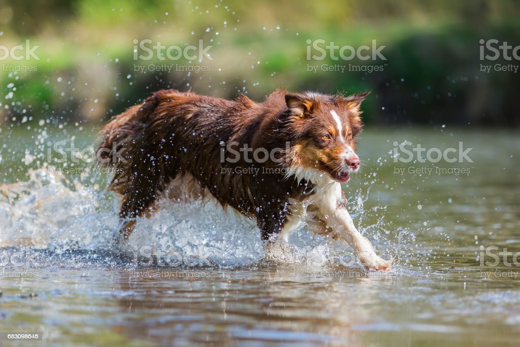 Australian Shepherd dog runs in a river zbiór zdjęć royalty-free