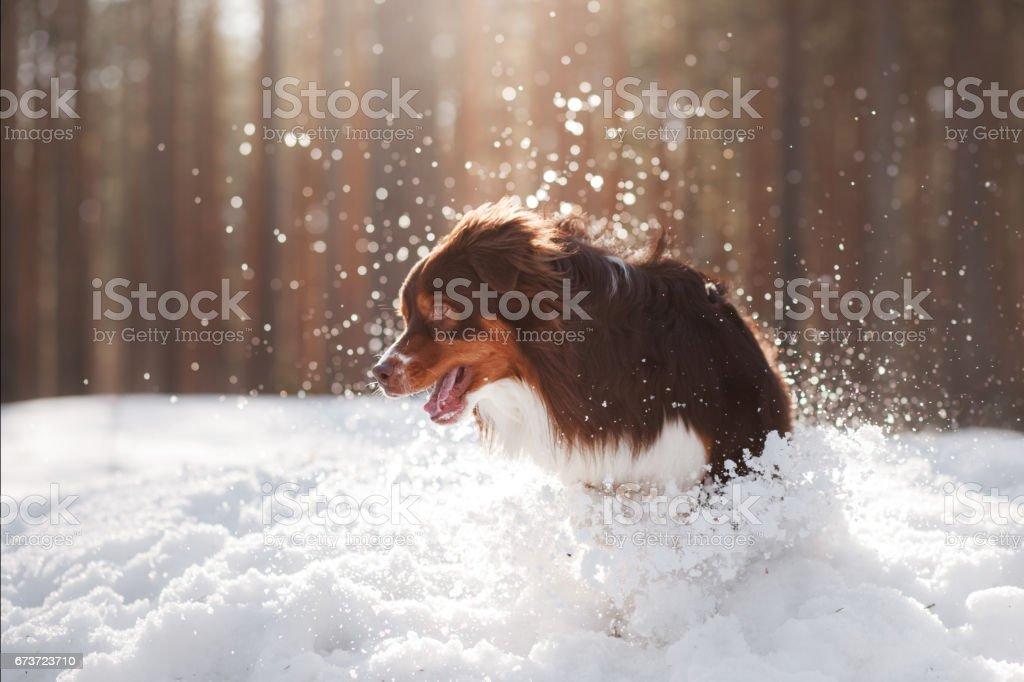 Chien de Berger australien traverse la neige photo libre de droits