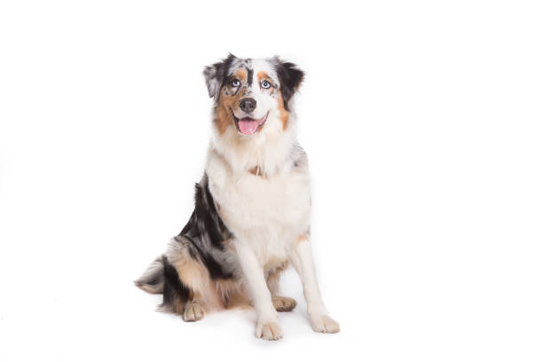 Australian Shepherd dog sitting isolated in white background stock photo