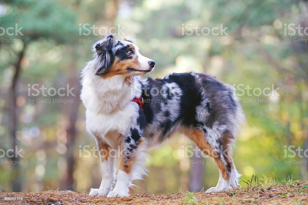 Australian Shepherd dog with a red harness staying in forest royalty-free stock photo