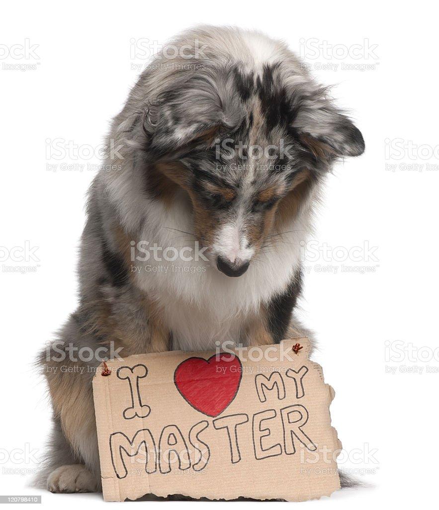 Australian Shepherd dog,sitting, white background looking at sign. royalty-free stock photo