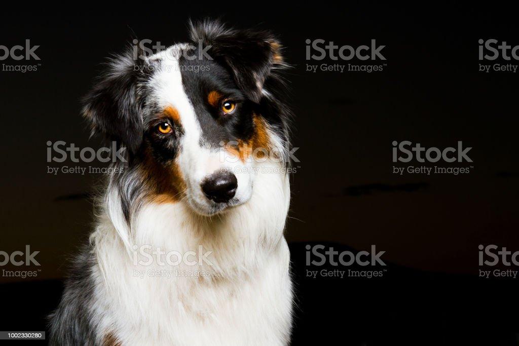 Australian Shepherd headshot stock photo