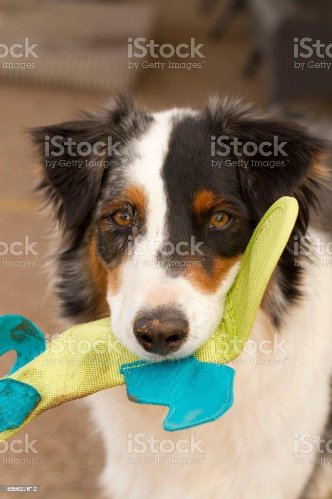 Australian Shepherd holding toy stock photo