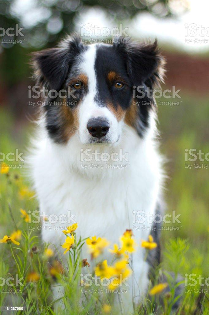 Australian Shepherd in flowers stock photo