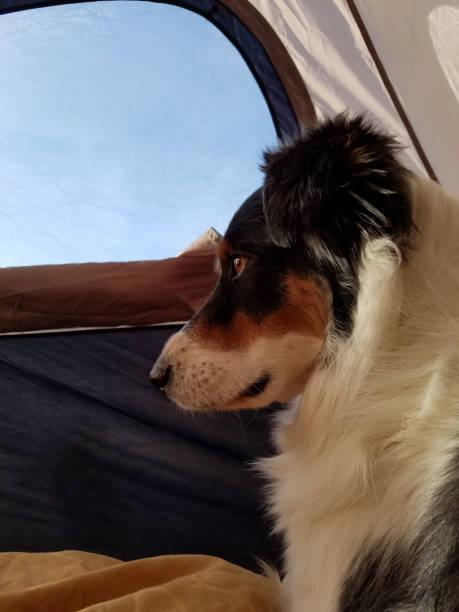 Australian Shepherd in tent stock photo