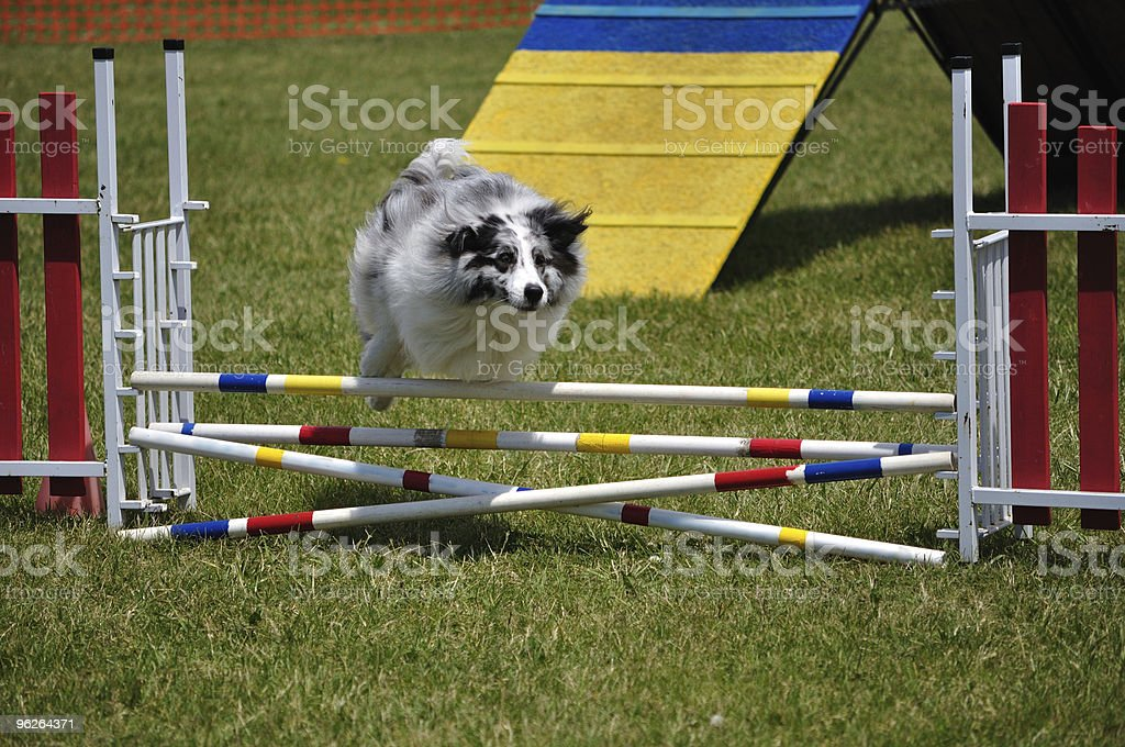 Australian Shepherd (Aussie) leaping over double jump at agility trial stock photo