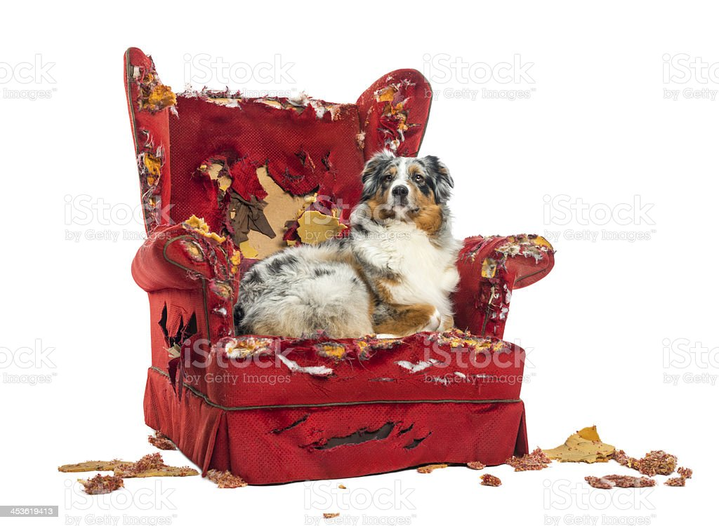 Australian Shepherd lying proudly on a detroyed armchair royalty-free stock photo