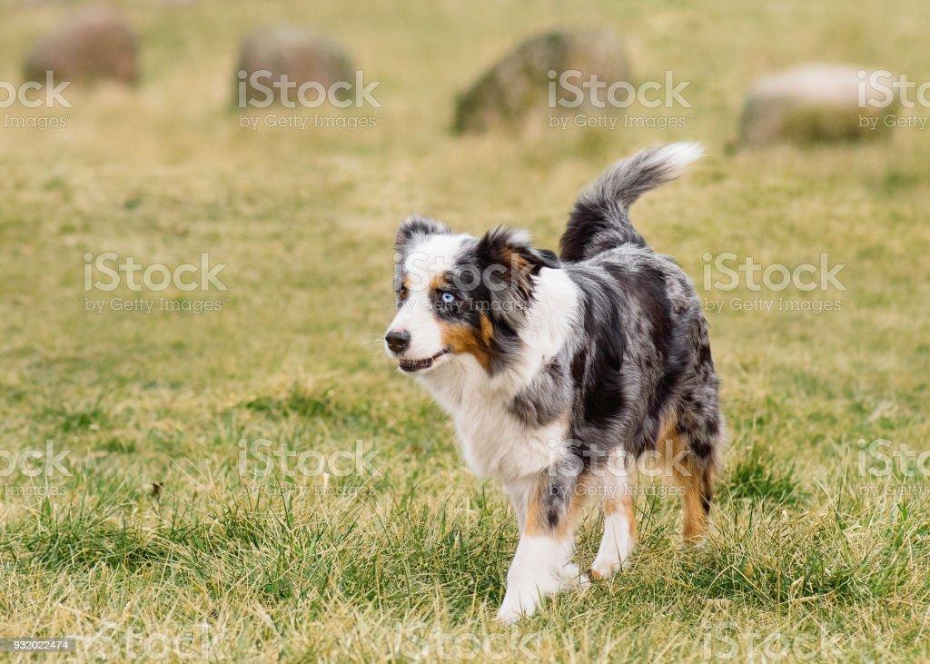 Australian Shepherd auf Wiese – Foto