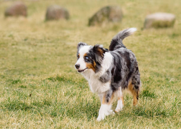Australian Shepherd on meadow Australian Shepherd purebred dog on meadow in autumn or spring, outdoors countryside. Blue Merle Aussie adult dog. australian shepherd stock pictures, royalty-free photos & images