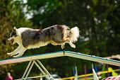 Australian Shepherd running on the agility ramp
