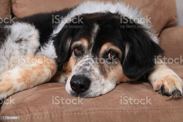 Australian shepherd on the sofa picture id175539857?b=1&k=6&m=175539857&s=612x612&h=vxlllcnxw 28zfrty1lvwl7cti1whkirg40qu4dkdig=