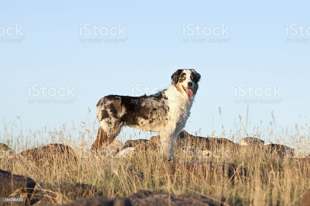 Australian Shepherd Outdoors stock photo