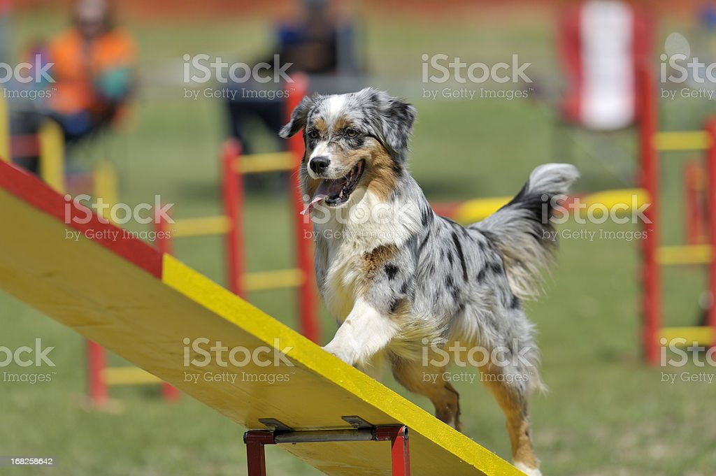Australian Shepherd royalty-free stock photo