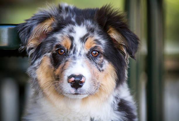 Australian shepherd A cute little Australian shepherd puppy. focus is on eyes. australian shepherd stock pictures, royalty-free photos & images
