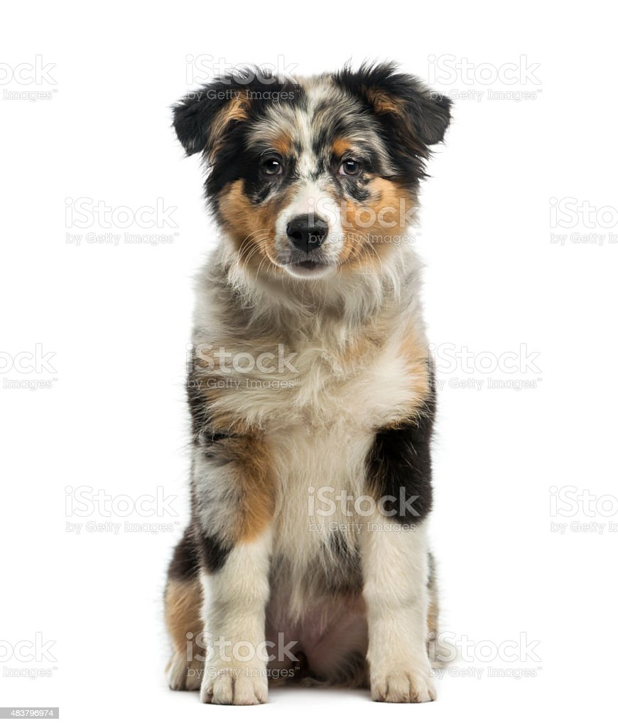 Australian Shepherd (3,5 months old) stock photo