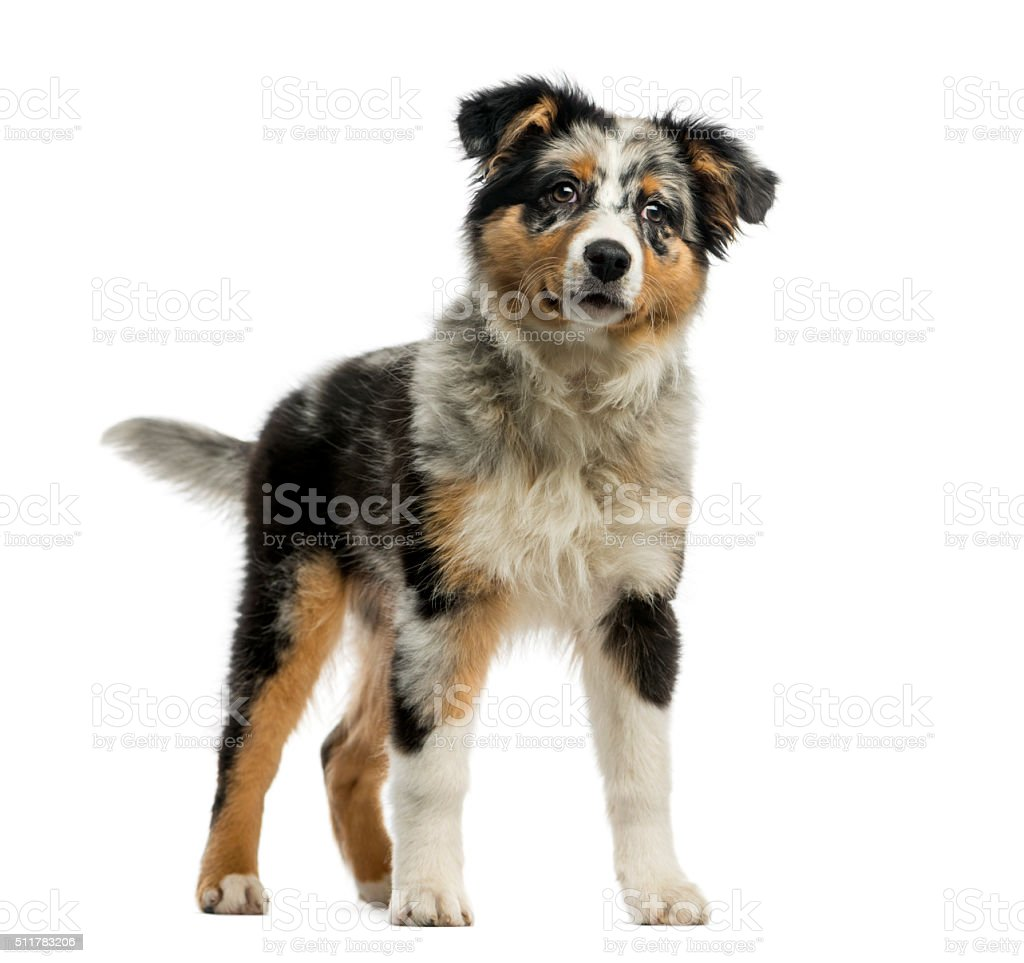 Australian Shepherd (3, 5 months old ) stock photo