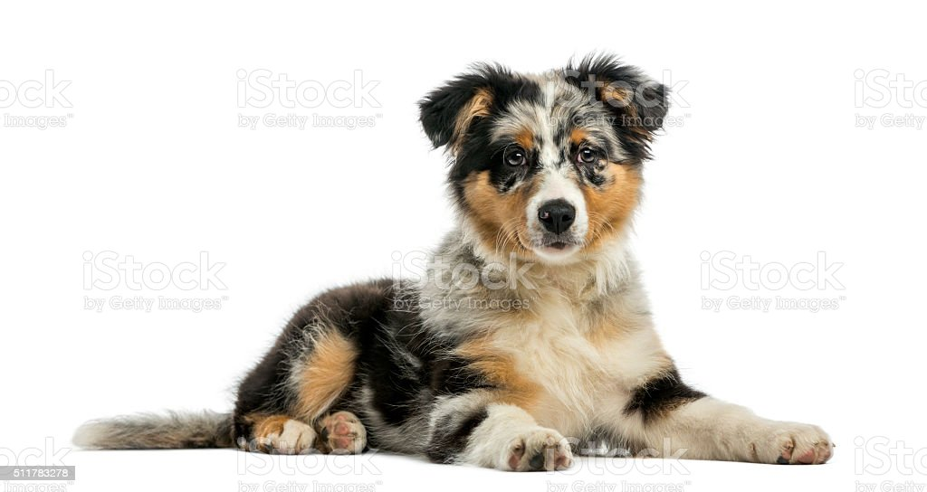 Australian Shepherd (3, 5 months old) stock photo